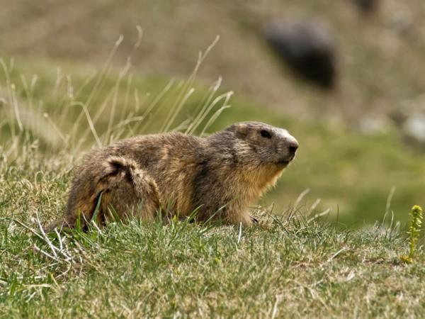 Les marmottes vous accompagne à votre montée à l'Observatoire